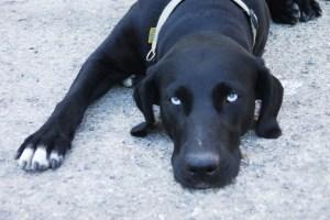 Black dog Spain